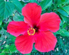 Flor de la planta Marpacífico, nombre popular de Hibiscus rosa-sinensis