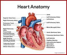 Heart Anatomy - Anatomy and Physiology