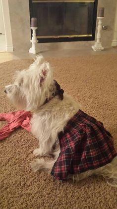 Westie in a kilt