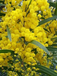 Golden Mimosa Acacia Baileyana Yellow Wattle Tree Bonsai Flower Aromatic plant Decorative home garden