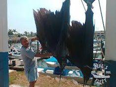 Pepe's Fleet - deep sea and bottom fishing in Mazatlan