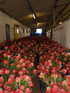 Pincushion protea or Leucospermum, from Cape town, being conditioned ready for export. Materialistic, Flower Market, Pincushions, Love Flowers, Cape Town, Flower Power, South Africa, Home And Garden, Trees