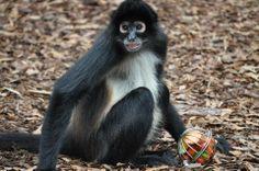 Munchkin the spider monkey    www.noahs-ark.org