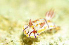 ヒュプセロドーリス・ゼブリナ / Hypselodoris zebrina