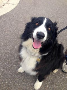 Meet Reilly, an adoptable Australian Shepherd Dog   Attica, MI   I will be 8 years old on July 8th. I am what they call a black bi which means I am black and white....