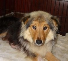 Georgia is an adoptable Shetland Sheepdog Sheltie Dog in Doylestown, PA. NOTE: Please click on 'Read More About This Pet' below BEFORE contacting us. Please give a warm welcome to gorgeous Georgia, th...
