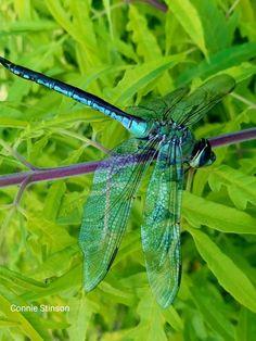 Dragonfly Photos, Dragonfly Art, Beautiful Bugs, Beautiful Butterflies, Gossamer Wings, Damselflies, Dragon Flies, Ladybugs, Hummingbirds