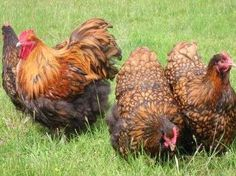 chickens: gold-laced Orpingtons