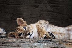 Berber Lion (Lev berberský-Panthera leo leo) - Zoo Olomouc (CZ)    by Lukas Koscelniak