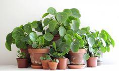 Forêt Pilea La plante star sur Instagram , celle qui apporterait la prospérité...