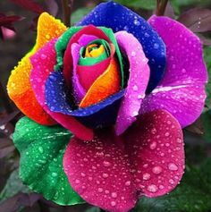 Seeds Rare Holland Rainbow Rose Flower Multi-color Plants 100