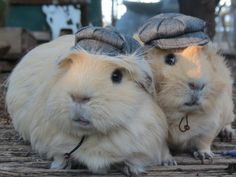 Newspaper Boy Hat for small pet Hedgehog Vogue Guinea Pig Mini pig Ferret herringbone small animals Cat Dog Puppy Pinkismart by Pinkismart on Etsy https://www.etsy.com/listing/229387930/newspaper-boy-hat-for-small-pet-hedgehog