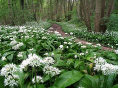 (O))) Allium ursinum : wild garlic