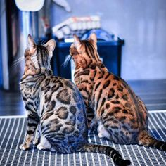 Bengal Cat Gallery - Cat's Nine Lives Ocicat, Chat Toyger, Gato Maine, Cute Cats, Funny Cats, Asian Leopard Cat, Cat Sitting, Domestic Cat, Beautiful Cats
