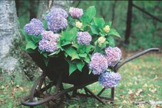 I have got to find an old wheelbarrow at a garage sale/estate sale and add THIS to my backyard.  Instant ooohs and awwwws!  : )