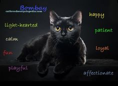 """The Bombay cat is known as the """"Parlor Panther"""".."""