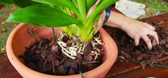 Quando for plantar sua orquídea, cuidado! Muito espaço significa mais umidade e isto a orquídea não gosta, pode até mesmo trazer alguma doença à planta. Utilize um vaso de barro com tamanho proporcional à planta. Esse vaso de barro deverá ficar 24 horas imerso em um local com água.