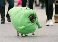 Funny pictures about Pug Marching As Slimer In The Spooky Pooch Parade. Oh, and cool pics about Pug Marching As Slimer In The Spooky Pooch Parade. Also, Pug Marching As Slimer In The Spooky Pooch Parade photos. Funny Animal Pictures, Dog Pictures, Funny Animals, Cute Animals, Animals Dog, Random Pictures, Funny Photos, Funny Dog Memes, Funny Dogs