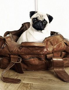 """★ """"You're taking me with you, right?"""" #dog #pug"""