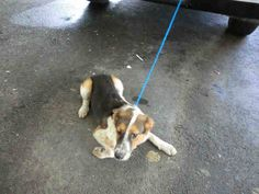 (A1641462) I am a female tricolor Beagle mix.  The shelter staff think I am about 1 year old.  I was found as a stray and I may be available for adoption on 09/11/2014. — at Miami Dade County Animal Services.