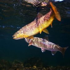 Brown trout, Madison River, Montana