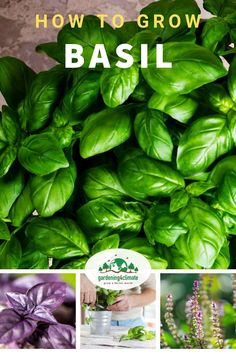 Basil can be tricky to grow at times. The wrong care for your plant.and basil plants quickly give up! Learn here how to avoid that and grow great basil in your herb garden or containers. Planting Vegetables, Growing Vegetables, Vegetable Gardening, Gardening For Beginners, Gardening Tips, Garden Pests, Herb Garden, Potager Garden, Basil Plant