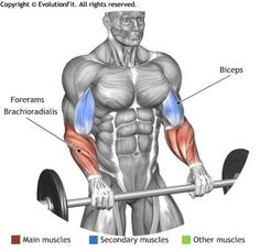 FOREARMS - STANDIG PALMS DOWN BARBELL CURL