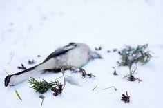Image result for dead mockingbird