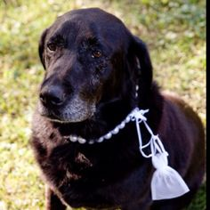 Our black lab Sammie was the ring bearer:$