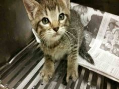 GARLAND, TX - HIGH KILL**KITTEN NEEDS IMMEDIATE HELP!!! 09-18-16 ALERT A217258 GETTING SICK!!! Unaltered male, gray brown tabby Domestic Shorthair. age is unknown. STRAY OFF HOLD 10/19 EMAIL ADOPTION INTEREST/RESCUE TAGS TO RESCUE@GARLANDTX.GOV https://www.facebook.com/ShelterAnimalsofGarland.Mesquite.Rowlett.Texas/photos/ms.c.eJwFwYENADAIArCPFkEQ~;f~_xtYARu26pS~_MBJsW2djLhB3GEBrQ~-.bps.a.1083759645049277.1073743303.431494740275774/1151755098249731/?type=3&theater