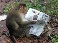 monkey | Monkeys kill Indian mayor - World - smh.com.au