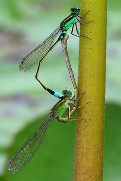 Dragon fly mating...one more....