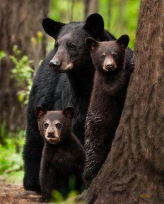 Who said the Three Bears was a fairy tale? Arkansas Black Bear Family