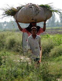 Farming in the fields of Punjab #pind diyan gallian