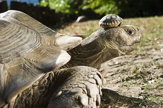 A four-day old African spurred tortoise, one of eight babies, on the head of its mother in their enclosure in Nyiregyhaza animal park in Hungary.