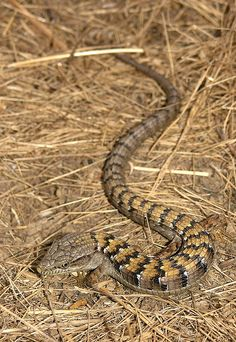 Southern Alligator Lizard (Elgaria multicarinatus webbi)