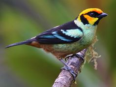 Tanager Tuesday presents: the Flame-faced Tanager Fast Crazy Nature Deals. Birds, Makeup Quotes, Light Art, Tuesday, Nature Photography, Presents, Pictures, Painting, Animals