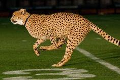 Our cheetahs running at Tropicana Field.