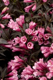 Dark Horse Weigela -  Weigela florida 'Dark Horse'. Dark bronze foliage with lime-green venation combines with purplish-pink tubular flowers to make a dramatic statement in the landscape. Neat, compact habit is easy to maintain. Perfect for accent or shrub border. Low, spreading shrub to 3 ft. tall and wide.