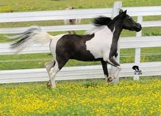 """Geldings for Christmas ? Two fancy pinto geldings for sale. Both are AMHA/AMHR registered, #1 is also pinto registered, papers in hand teeth, feet and vaccines up to date. #1 Vermilyeas Red Tapes Touch of Magic 5-12-2007 33.75.  #2 SHF Designed for Victory is a blue eyed Bay pinto 32"""" born 5-12-2012 Located in Pennsylvania at SHF Miniature horses. Please visit: http://www.shfminiaturehorses.com Sales promotion provided by Lil Beginnings Miniature Horses."""