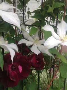 rose burgundy and clematis
