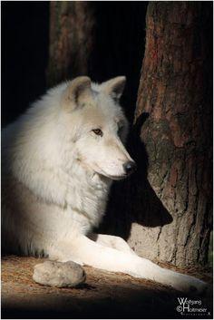 imponente lobo blanco