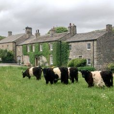 pagewoman: Belted Galloway Bullocks on Village Green Arncliffe, Littondale, Yorkshire Dales, England via Hill Top Farmgirl Yorkshire England, Yorkshire Dales, Yorkshire Terriers, Miniature Cow Breeds, Miniature Cows, Galloway Cattle, Country Living Uk, Country Life, Cattle Farming