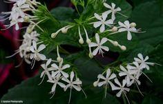 Tiny white flowers - Ajaytao