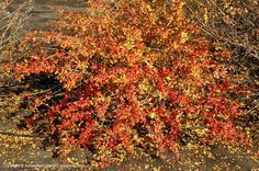 Aromatic Sumac, fall color: Best shape and density in full sun but will also grow in shade.