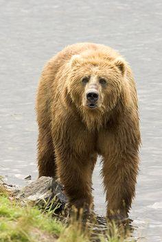 Kodiak bear (Ursus arctos middendorffi) in Kodiak National Wildlife Refuge, southern Alaska, U. Kodiak bears are the largest living land carnivores. Animals Beautiful, Cute Animals, Wild Animals, Majestic Animals, Zoo Animals, Beautiful Creatures, Bear Species, Baby Cubs, Dinosaurs