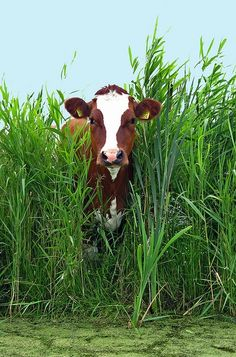 JUST PLAIN COUNTRY CHARM... Cow in the rushes.