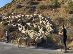 "There were lots and lots of ""geep"" (goats/sheep bred together) with lots of tiny bells around their necks...all over Crete!"