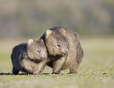 Vombat, Ausztrália