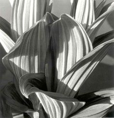 Botanic Photo by Karl Blossfeldt / Shape, texture, ditale Karl Blossfeldt, Grete Stern, Straight Photography, Fine Art Photography, Nature Photography, Dramatic Photography, Timeless Photography, Shadow Photography, Minimalist Photography